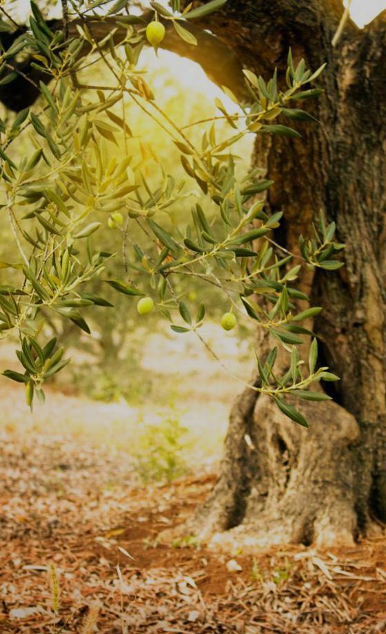 virginia-olivetree